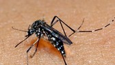 Korean woman suspected of catching Chikungunya fever