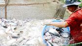 ĐBSCL: Người nuôi cá tra lời 5.000 - 7.000 đồng/kg