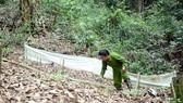 Một hộ dân trên huyện Tu Mơ Rông trồng sâm dưới tán rừng