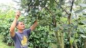 Nhiều nhà vườn tại Đắk Nông có thu nhập cao nhờ trồng bơ xen canh