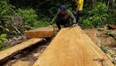 """Kiểm tra vụ """"công ty trồng rừng cưa cây tự nhiên"""""""