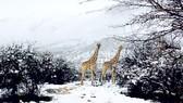 Tuyết phủ trắng Nam Phi