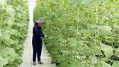 Khu Nông nghiệp công nghệ cao TPHCM công bố 4 giống cây ngắn ngày