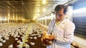 Nhân viên Công ty Bình Minh kiểm tra chất lượng gà của trại nuôi ở tỉnh Bà Rịa - Vũng Tàu