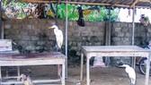 Tận diệt chim cò