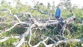 Nhiều chủ rừng… tàn phá rừng