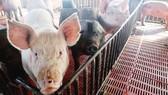 Lào dừng nhập khẩu thịt heo và heo từ Trung Quốc