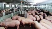 Nuôi 1.000 con lợn thịt có thể nhận hỗ trợ đến 5 tỉ đồng