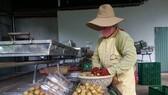 Sơ chế nhãn xuồng cơm vàng tại Hợp tác xã Nông nghiệp và Dịch vụ Nhân Tâm (huyện Xuyên Mộc). (Ảnh: Hoàng Nhị/TTXVN)