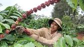 Thấp thỏm mùa cà phê