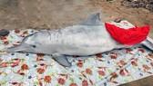 Cá ông và cá heo chết trôi dạt vào bờ biển