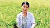 Nông dân khốn đốn vì lúa lép hạt