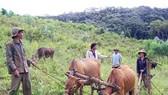 Dắt bò vượt Trường Sơn lập nghiệp