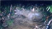 Tê giác Java đã tuyệt chủng tại Việt Nam