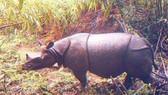 Indonesia phát hiện 35 cá thể tê giác Javan cực kỳ quý hiếm