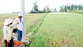 Xâm nhập mặn nhiều nơi ở ĐBSCL: Lúa chết, dân khổ