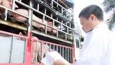 Thương lái Trung Quốc mua gom heo mỡ