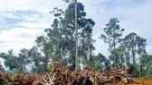 Phát triển rừng cao su ồ ạt xâm hại tài nguyên rừng
