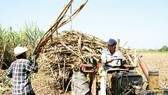 Sugarcane growers switch to cash crops in Hau Giang Province