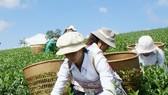 Vietnamese tea passes customs clearance in Taiwan (China)