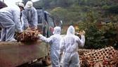 Xuất hiện cúm A/H5N1 tại 3 huyện của tỉnh Trà Vinh và Vĩnh Long
