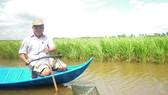 Bấp bênh trồng lúa trên đất nuôi tôm