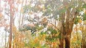 Rừng cao su thay lá