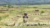 Hà Tĩnh: Lần đầu tiên người Chứt ở Rào Tre được mùa lúa bội thu