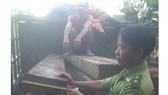 Truy bắt tài xế chở gỗ lậu chạy vào rừng cao su lẩn trốn