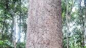 Công nhận 2 cây di sản Việt Nam tại Vườn Quốc gia Lò Gò - Xa Mát