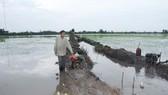 Lúa đông xuân ĐBSCL sớm bị thiệt hại do mưa dầm