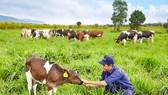 Trang trại bò sữa Organic đầu tiên tại Việt Nam đạt chuẩn châu Âu