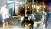 Hiệu quả bước đầu trong lai tạo giống bò thịt chất lượng cao