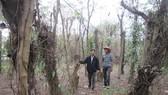 Quảng Nam: Trên 3.000 trụ tiêu bị bệnh chết nhanh