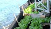 Chung tay chăm chút vườn rau Trường Sa