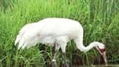 Sếu đầu đỏ xuất hiện tại Vườn Quốc gia Lò Gò - Xa Mát