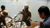 Hậu Giang: Nuôi cá thát lát lợi nhuận cao