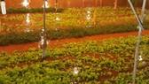 Mưa lớn khiến nhiều vườn rau của người dân phường 9, TP Đà Lạt bị ngập