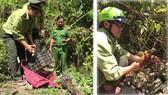 Lực lượng chức năng đang tiến hành thả cá thể nhím bờm về rừng tự nhiên