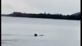 Cá voi bơi ra khỏi vùng biển nông