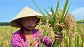 Bà Nguyễn Thị Duyên (Mỹ Hòa, Mỹ Thủy, Lệ Thủy) xót xa với ruộng lúa bị lép bông hoàn toàn của gia đình.
