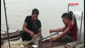 Trúng mùa cá mòi, ngư dân thu tiền triệu mỗi ngày