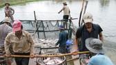 Giá cá tra nguyên liệu ở các tỉnh ĐBSCL đang dao động ở mức cao.