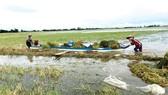 Nông dân vùng đầu nguồn An Phú (tỉnh An Giang) thu hoạch lúa chạy lũ