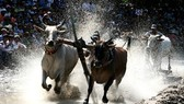 Ox racing is one of the most exciting activities of the Khmer Culture, Sports and Tourism Festival. (Photo: Sggp)