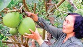 Green-skin grapefruit cultivation has guaranteed a stable income for farmers in Ben Tre. (Photo: Sggp)