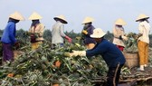People harvest pineapple in Hau Giang province (Photo: VNA)