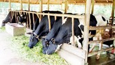 Soc Trang province approves cow breeding to help poor households
