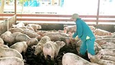 Experts warns farmers to be cautious about raising more pigs