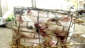 Quang Ngai takes steps to prevent African swine fever